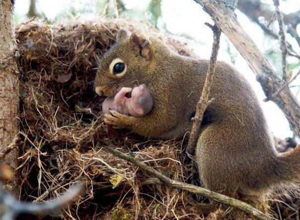 Новорожденная белочка и ее мама )