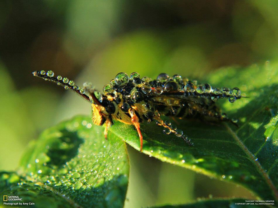 Пчела в каплях утренней росы