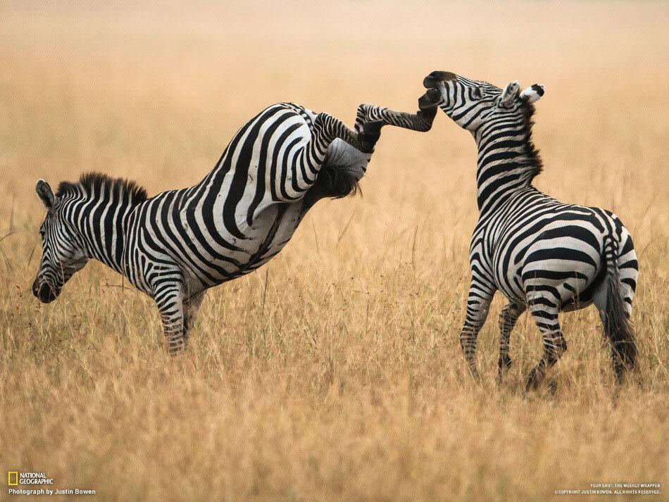 Две зебры дерутся в парке Масаи-Мара, Кения