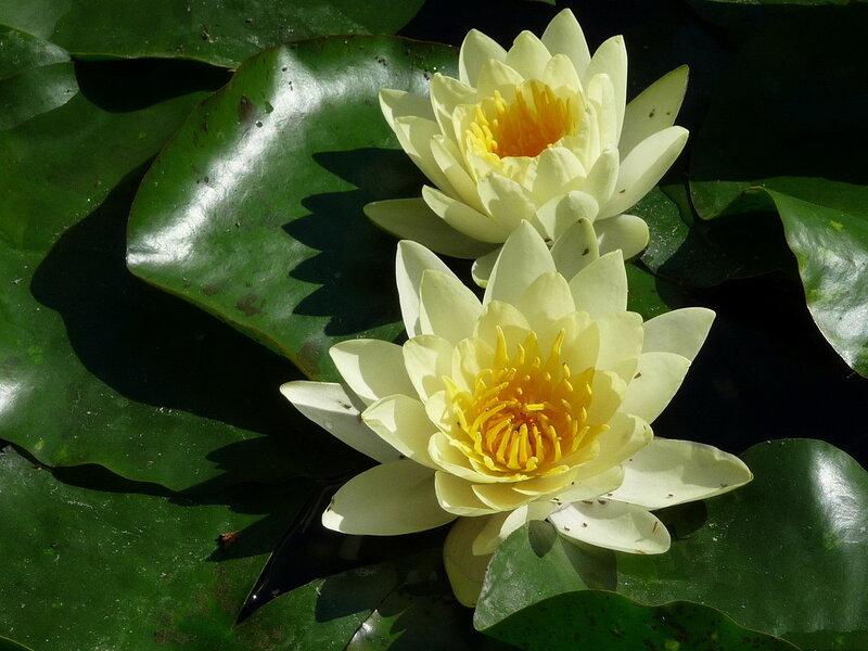 Картинки цветы кувшинки 6