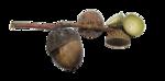 acorns33.png