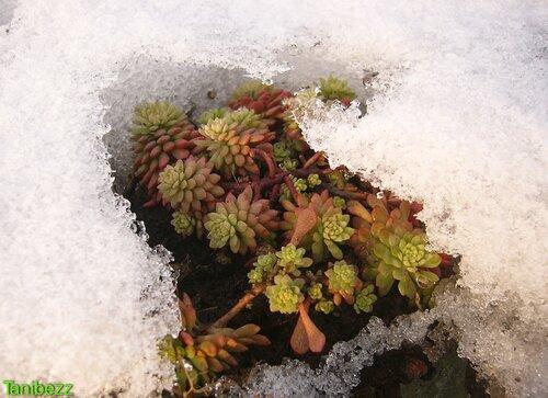 Очиток (седум) синезелёнолистный / Sedum glaucophyllum