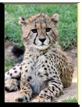 Кения. Масаи Мара. Фото fouroaks - Depositphotos