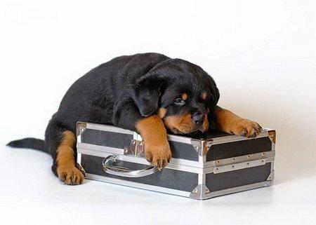 Всегда нужно помнить, что вакцинация - сложный и ответственный период в жизни собаки, особенно в щенячьем возрасте...