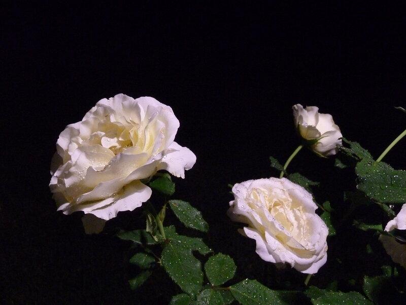 Ночные розы после нашего единственного дождя