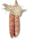 mzimm_fallintoautumn_indian_corn_sh.png