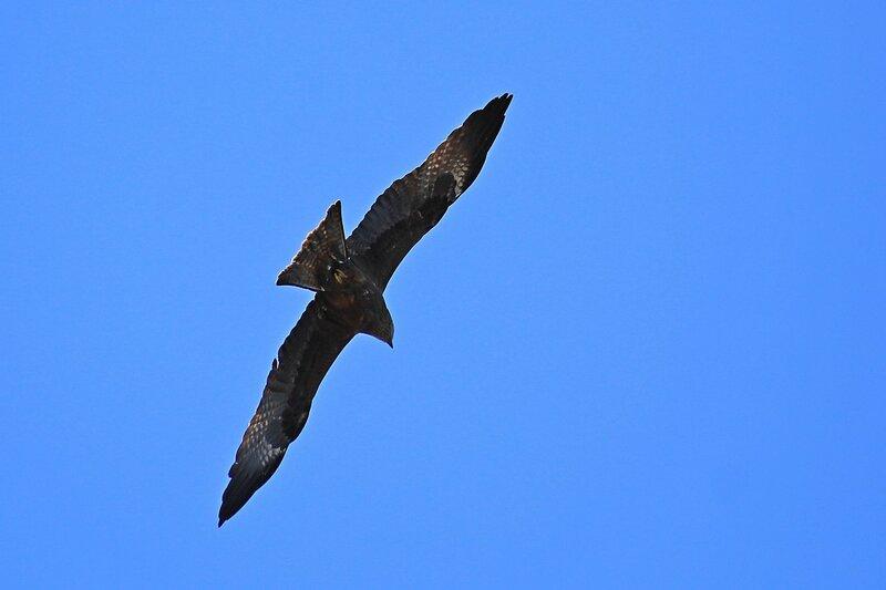 Чёрный коршун (Milvus migrans) делает вираж в полёте над озером Просным во время половодья-2015 на Вятке