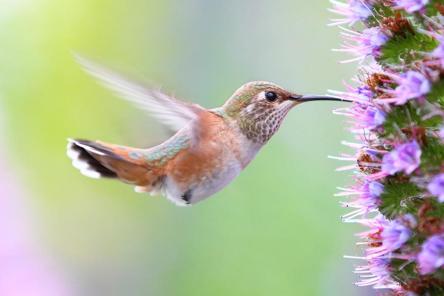 колибри птицы картинки