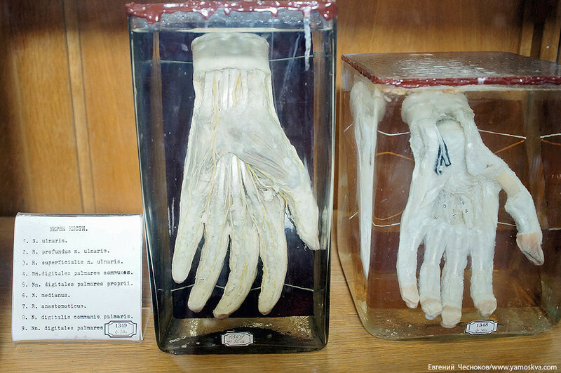 Лето. МГМУ. Музей анатомии. 27.08.15.33..jpg