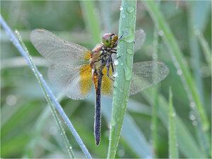 s:стрекозы,c:с желтыми пятнами