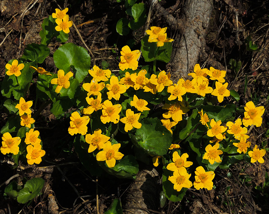 Цветёт калужница
