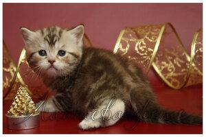 шоколадная серебристая мраморная британская кошка