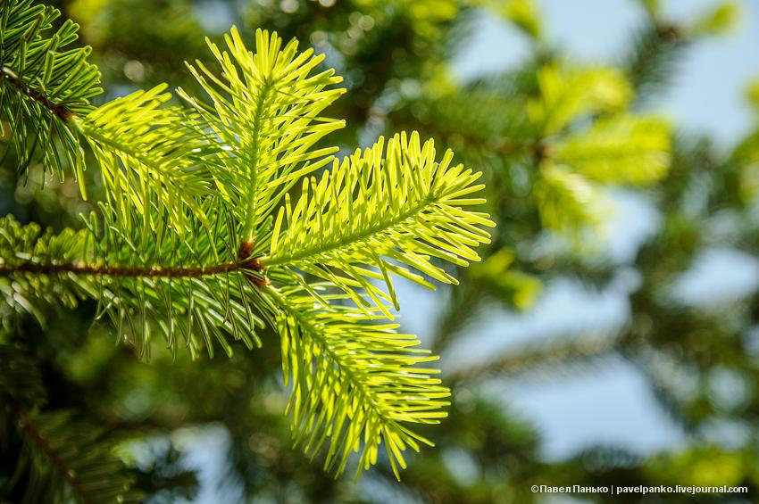 панько pavelpanko природа дерево сосна ель иголки