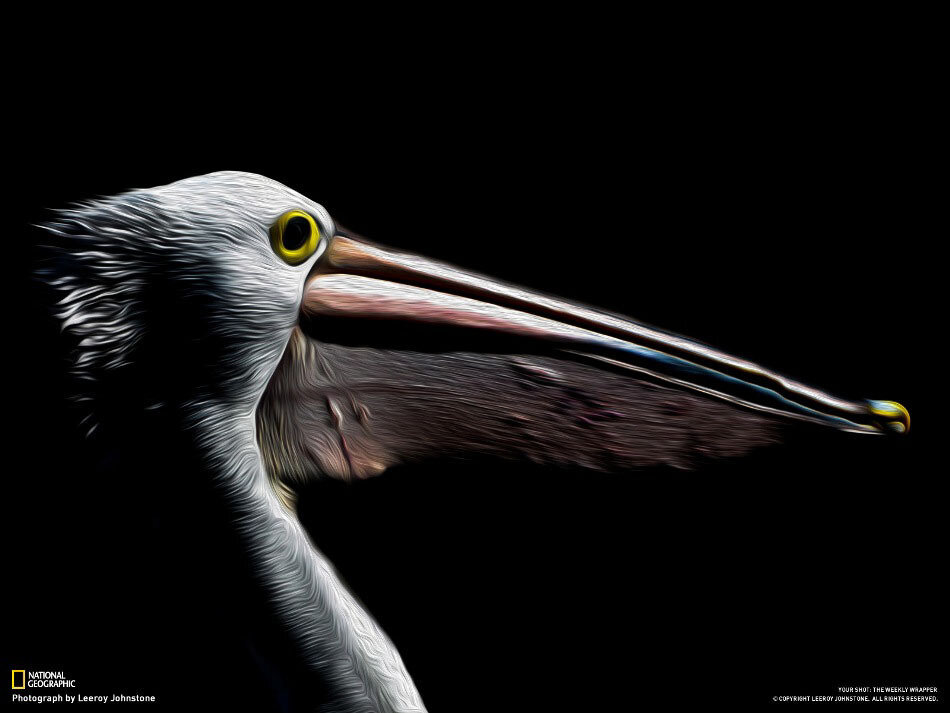 Пеликан. Мельбурн, Австралия