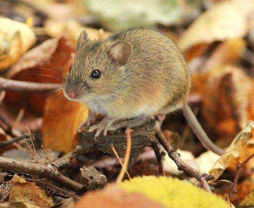 Глупый маленький мышонок
