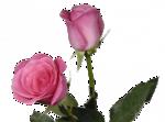 цветы (176).png