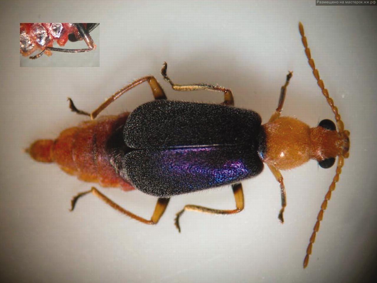 насекомые фото мухоловка