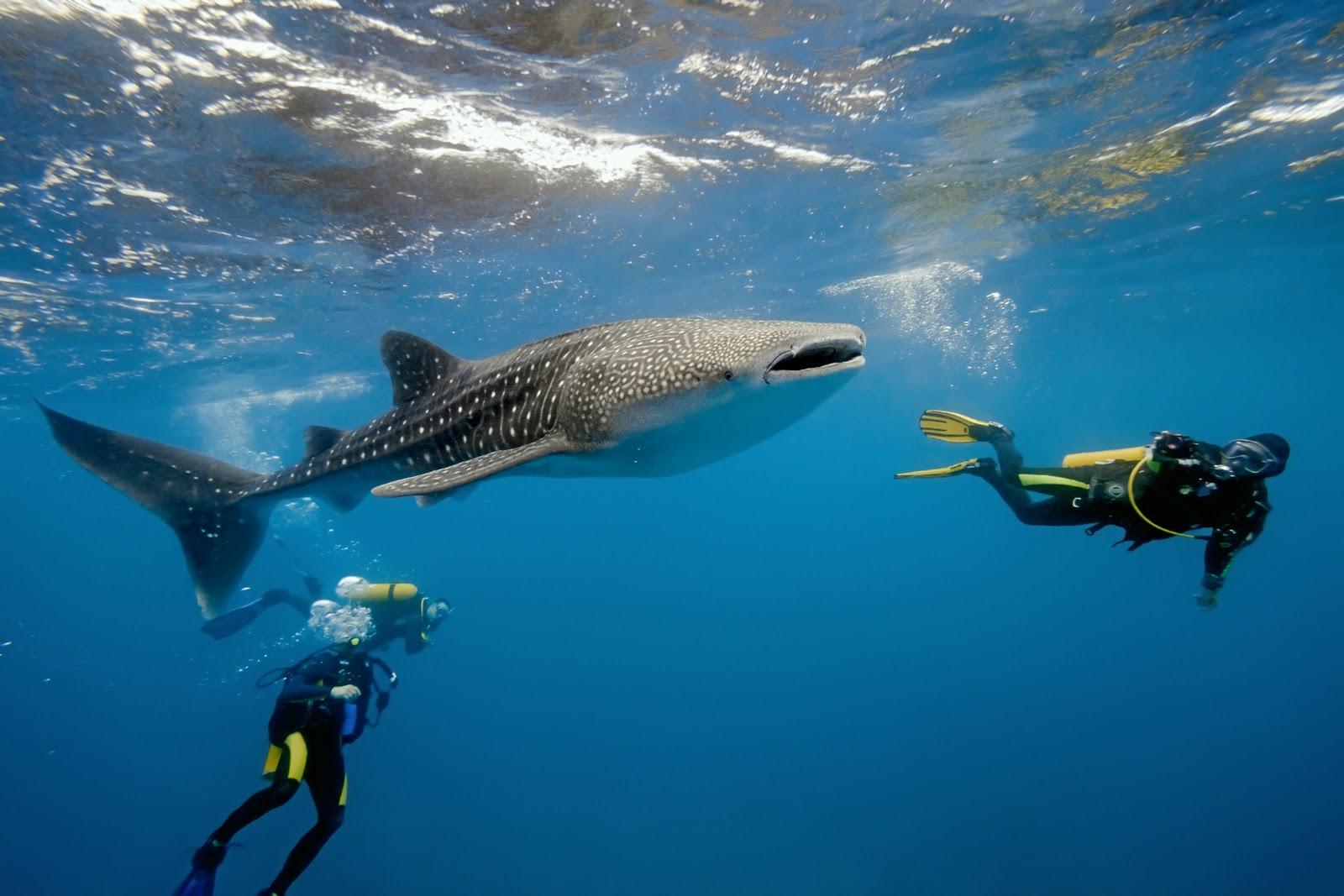 """Результат пошуку зображень за запитом """"Дайвінг з китовими акулами на Філіппінах"""""""