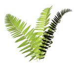 R11 - Nature Time 1 - Fern - 019.png