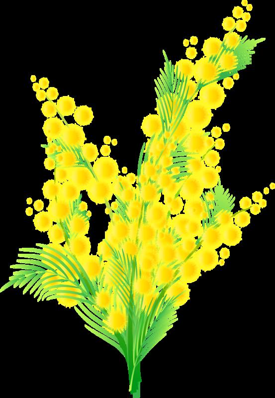 Картинки цветов мимоза 6