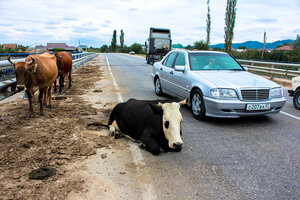 Коровы на дорогах Кабардино-Балкарии
