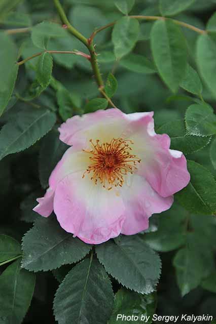 Rosa Fruehlingsmorgen (1).JPG