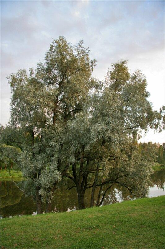 Павловск, ива на берегу Мариентальского пруда