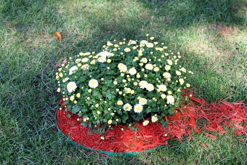 Куст хризантем