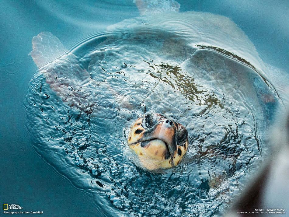 Черепах высовывает из воды голову, чтобы набрать воздуха. Бодрум, Турция