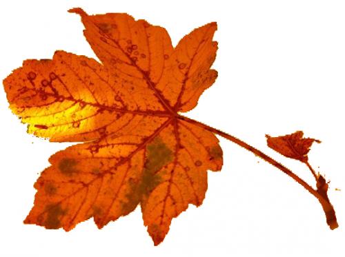 осенние листья в png