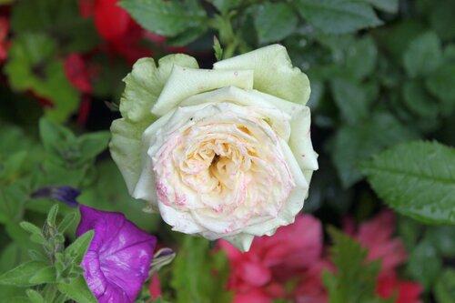 Роза среди петуний