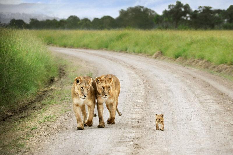 Дэвид Лазар. Отличные фотографии животных в Масаи Мара
