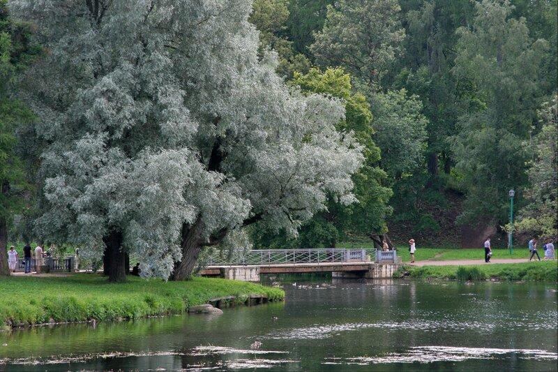 Гатчинский парк, Серебристая ива
