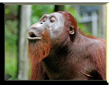 Малайзия. о.Борнео. Orangutan, Borneo. Фото shekobagus - Depositphotos