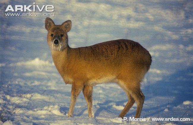 ARKive image GES035772 - Chinese water deer