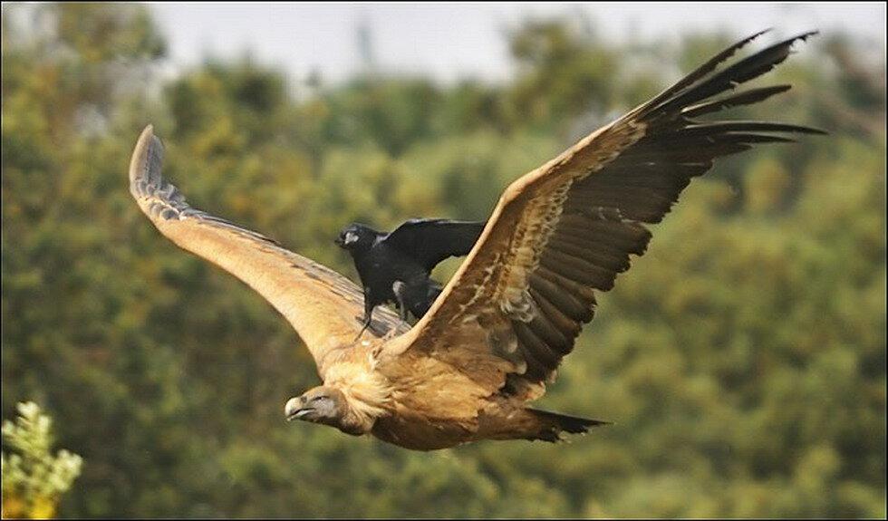 Angry Birds: Зачем вороны пристают к орлам?