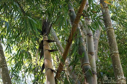 заросли бамбука у дороги на острове Флорес, Индонезия