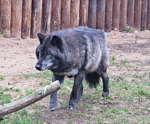 Канадский волк