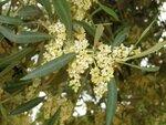 Цветы оливкового дерева. Агридженто. Италия. Май 2011