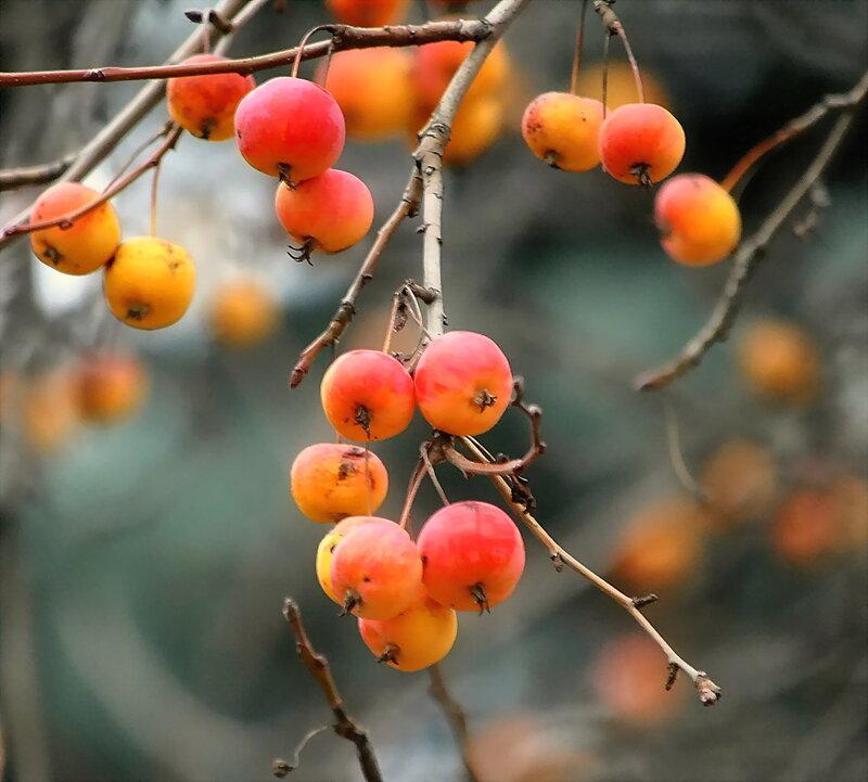 Яблоки в ноябре..., розовые на сером...!!!