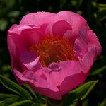 Календарь цветения пионов 2012г 0_6ff42_5d87f4af_S