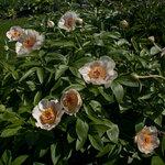 Календарь цветения пионов 2012г 0_6ff46_2b2f094e_S