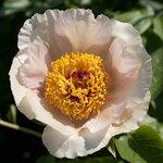 Календарь цветения пионов 2012г 0_6ff48_af71905d_S