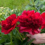 Календарь цветения пионов 2012г 0_6ff8d_9fa6fb0b_S