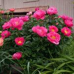 Календарь цветения пионов 2012г 0_6ff93_b12a39d6_S