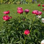 Календарь цветения пионов 2012г 0_6ff99_71a95c70_S