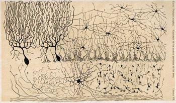 CajalCerebellum.jpg