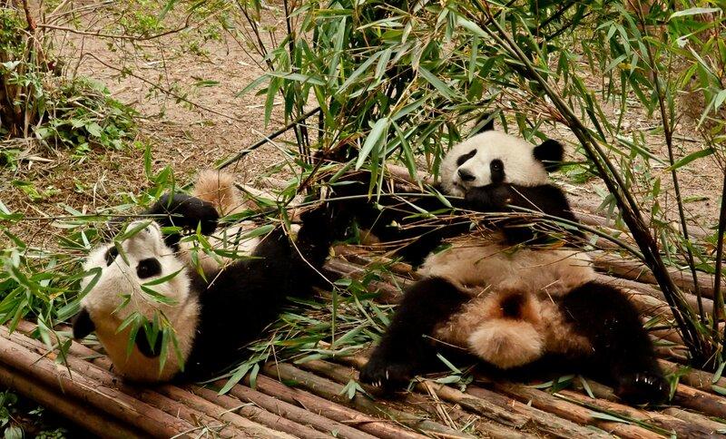 Бамбуковые мишки