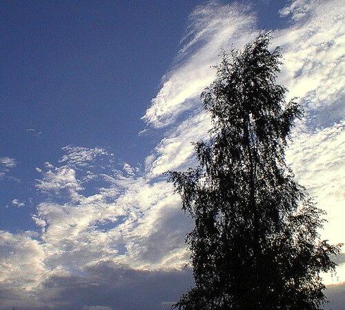 Берёза и облака