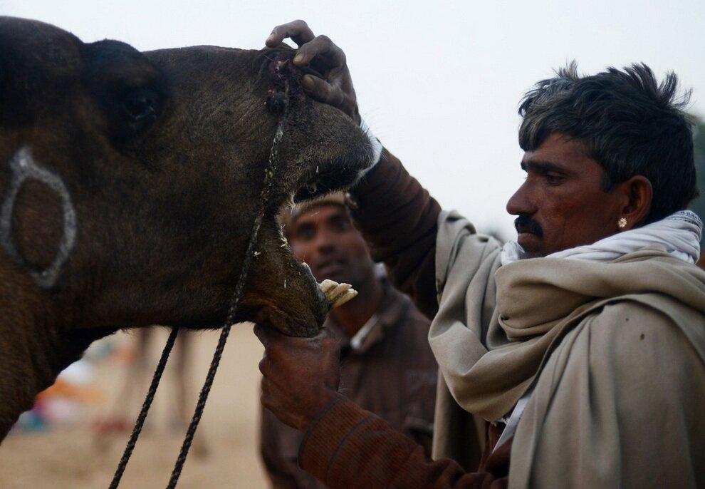 Индийский торговец демонстрирует покупателям зубы верблюда.